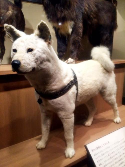 Hachiko, no Museu de Natureza e Ciências de Tóquio! - Imagem Daiane Veiga.